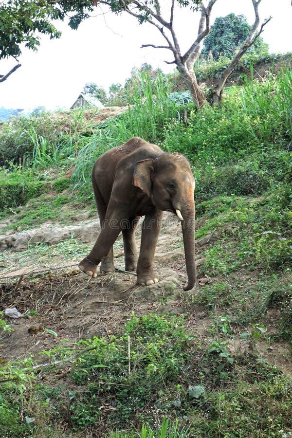Un jeune éléphant tire contre la chaîne sur son pied photo stock