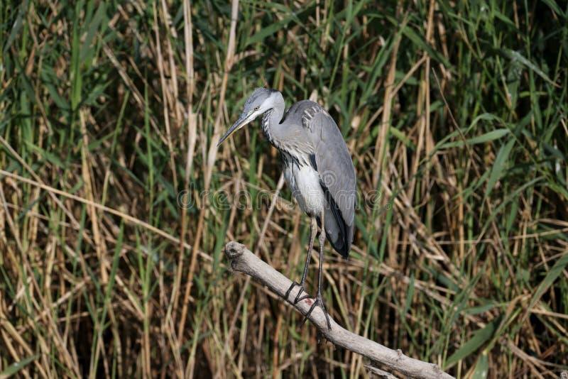 Un jeune Ardea gris de héron cinerea image stock