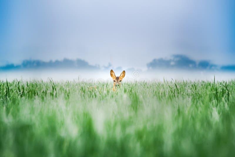Un jeune cerf commun dans un domaine de blé vert photos libres de droits