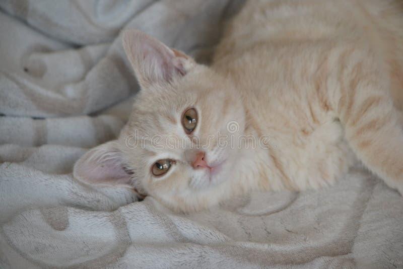 Un jeune chat de couleur de p?che se trouve sur le lit photo stock