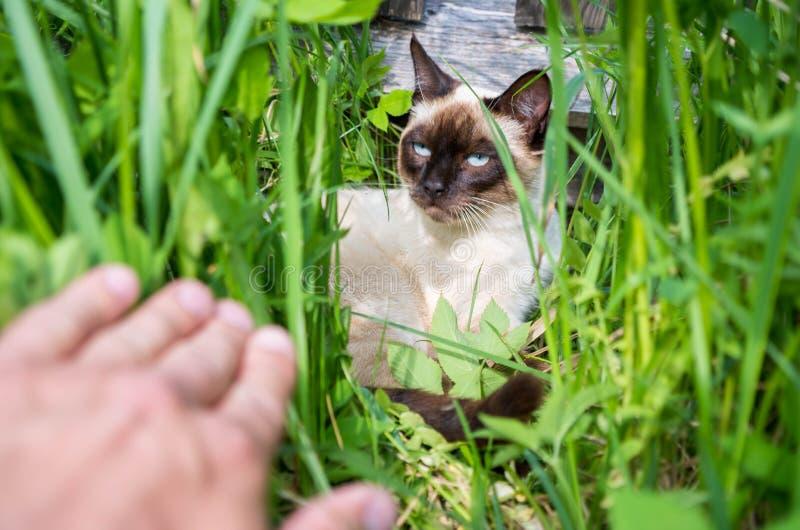 Un jeune chat thaïlandais s'est caché dans l'herbe photo libre de droits