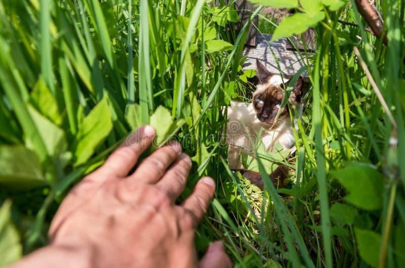 Un jeune chat thaïlandais s'est caché dans l'herbe photo stock