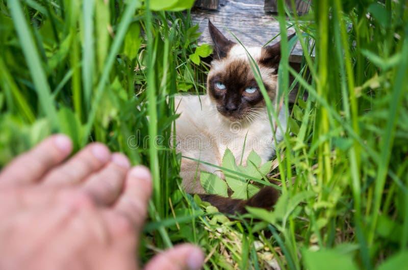 Un jeune chat thaïlandais s'est caché dans l'herbe photos libres de droits