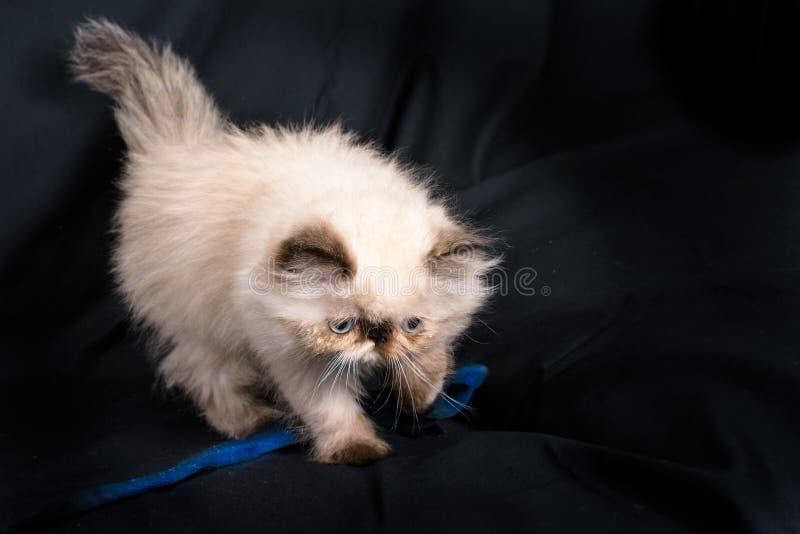 Un jeune chaton persan de l'Himalaya de point bleu image libre de droits