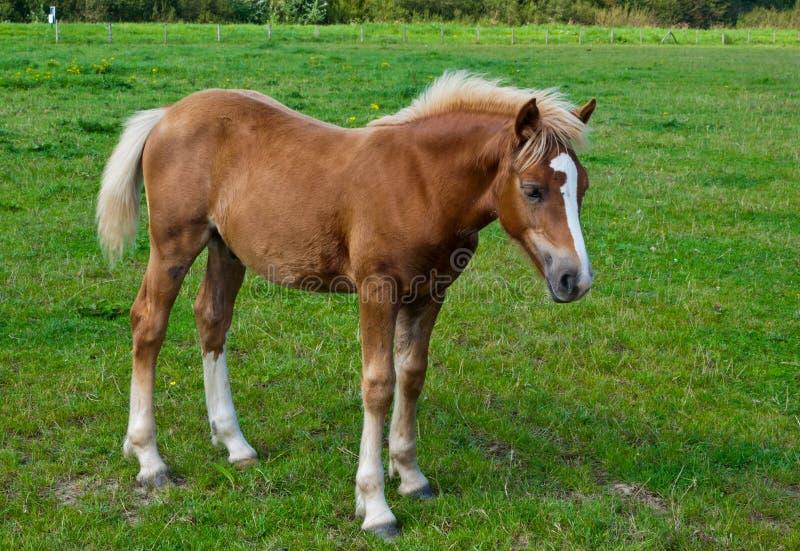 Un jeune cheval brun restant dans l'herbe photos stock