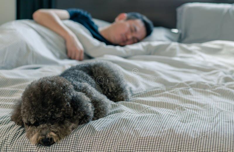Un jeune chien de caniche noir adorable dormant sur le lit avec le propri?taire avec le soleil sur le lit malpropre photo stock