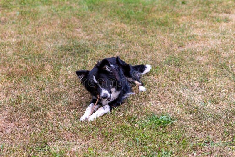 Un jeune chien mâche un bâton sur la pelouse photo stock