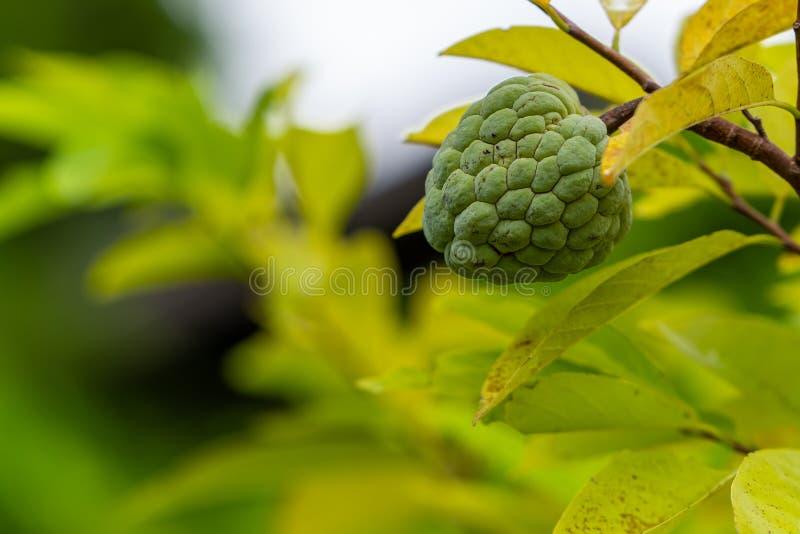 Un jeune corossol frais sur son arbre photographie stock libre de droits