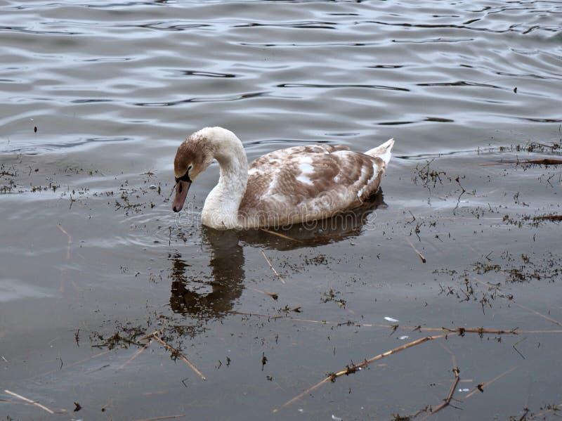 Un jeune cygne du lac Forfar photographie stock libre de droits