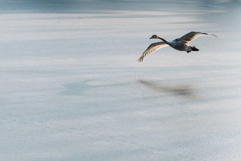 Un jeune cygne muet gris volant autour au-dessus d'un lac congelé images libres de droits