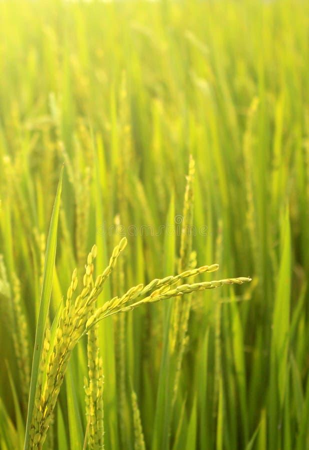 Un jeune groupe de riz avec le champ vert images libres de droits