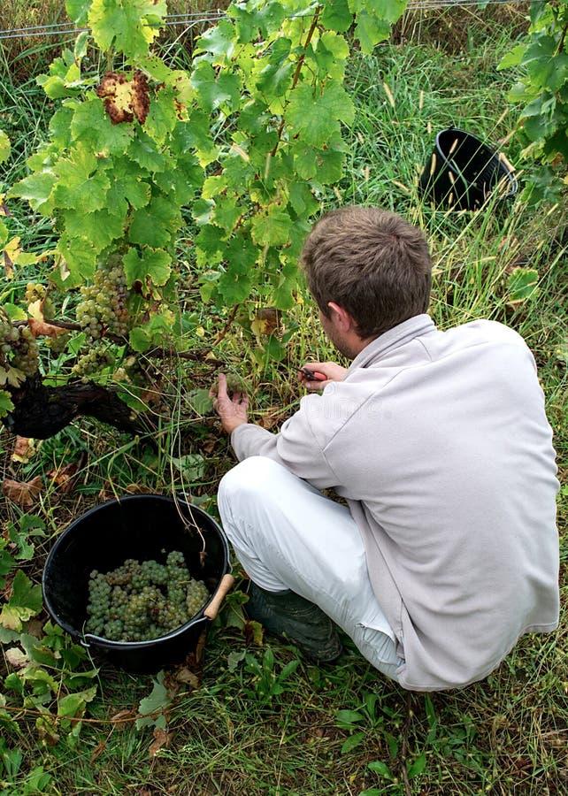 Un jeune homme sélectionnant les raisins blancs mûrs image libre de droits