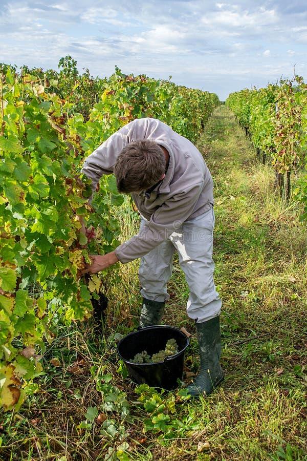Un jeune homme sélectionnant les raisins blancs mûrs images libres de droits
