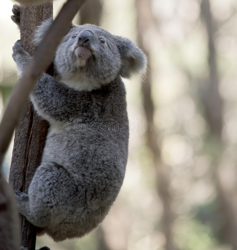Un jeune koala photo stock