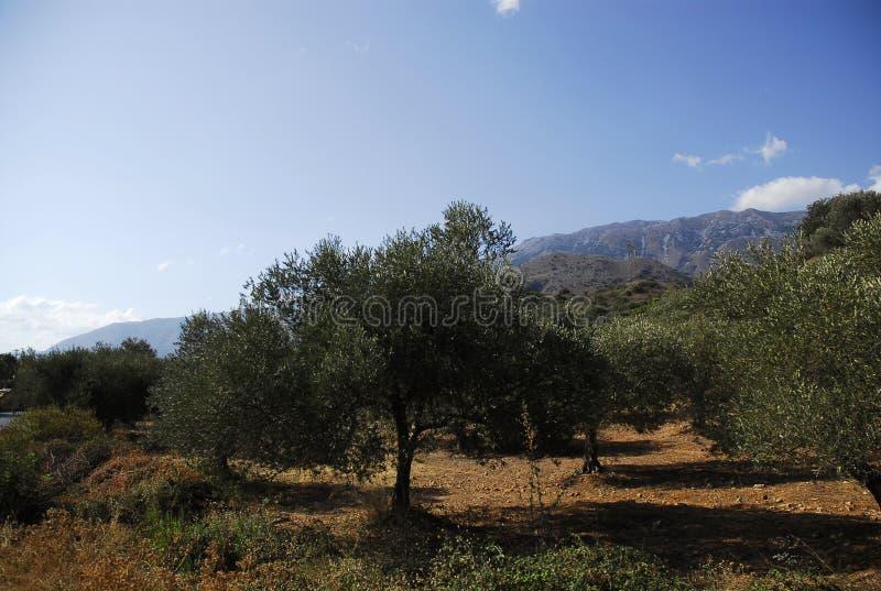 Un jeune olivier en montagnes crétoises image stock