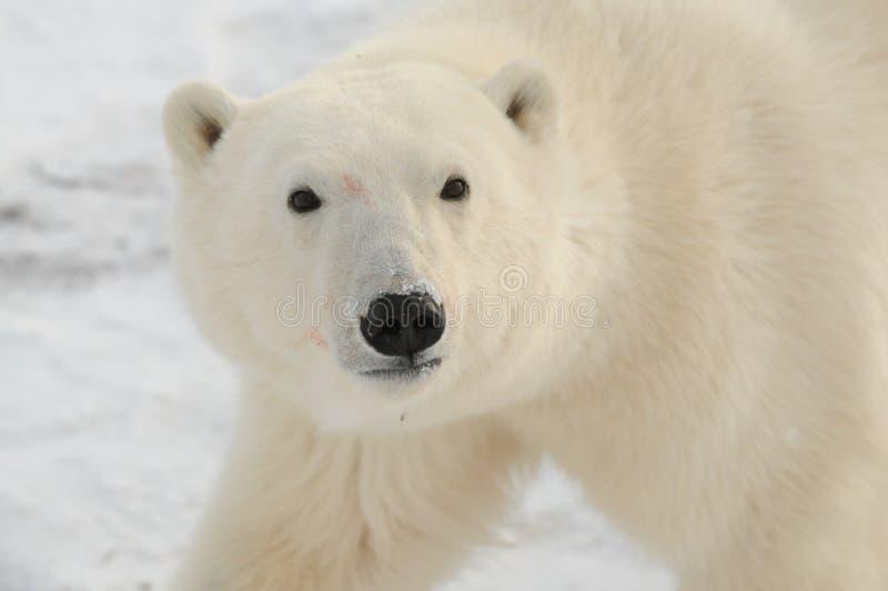 Un jeune ours blanc photo libre de droits