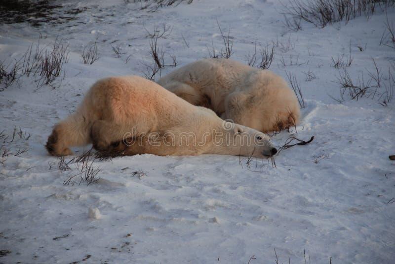 Un jeune ours blanc image libre de droits