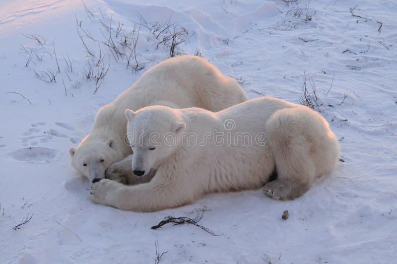 Un jeune ours blanc avec la maman photos stock