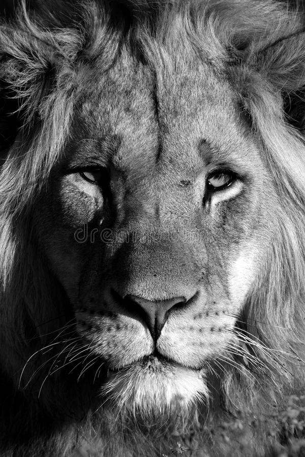 un jeune portrait masculin de lion en noir et blanc l 39 afrique du sud photo stock image du. Black Bedroom Furniture Sets. Home Design Ideas
