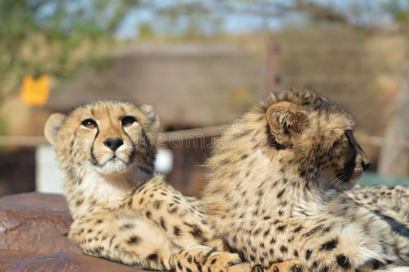 Un jeune portrait mignon de guépard pendant un safari dans une réservation de jeu en Afrique du Sud photo stock