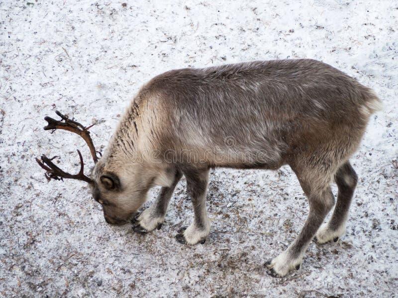 Un jeune renne recherche la nourriture Une terre sauvage vide sans herbe et neige photo stock