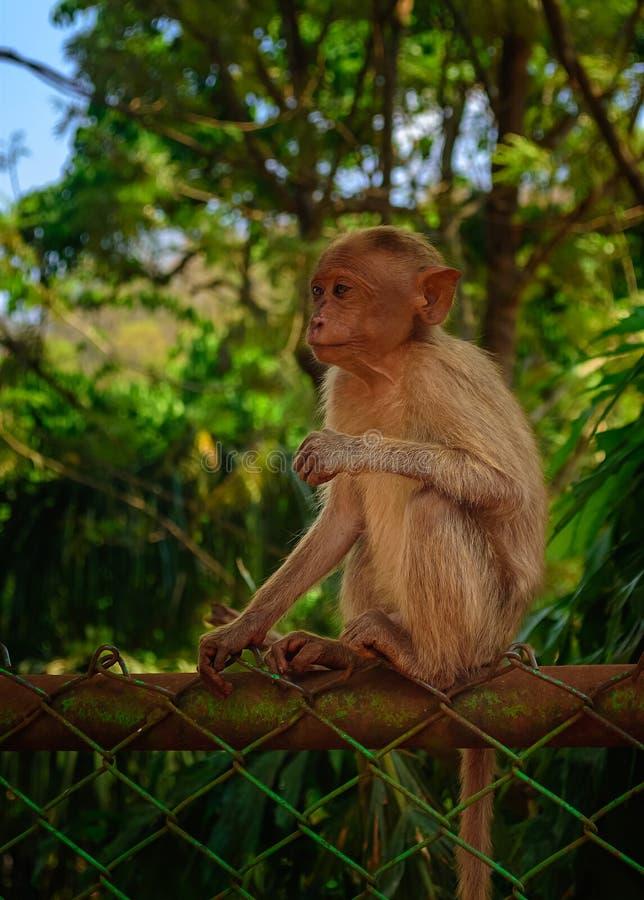 Un jeune singe de capot se reposant sur une barrière faisant face à la caméra, l'espace de copie photographie stock libre de droits