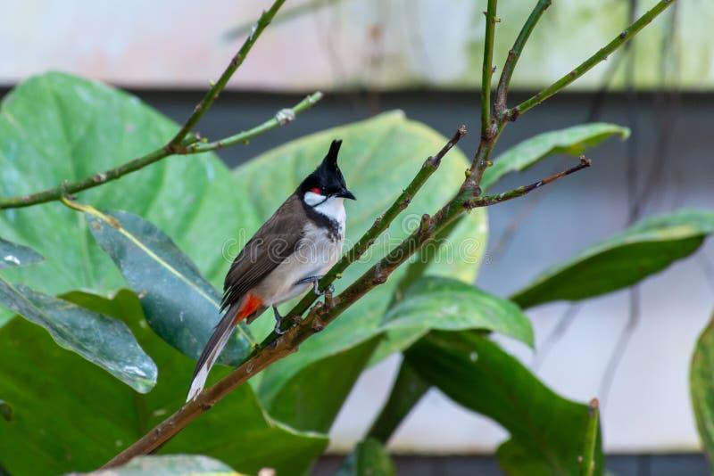 Un jocosus rojo-patilludo de Pycnonotus del pájaro del bulbul, o el bulbul con cresta, encaramado en la selva tropical que lo mue foto de archivo libre de regalías