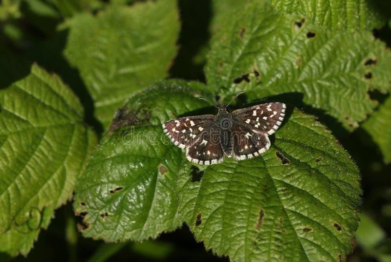 Un joli papillon grisonnant de capitaine, malvae de Pyrgus, étant perché sur une feuille de mûre photographie stock