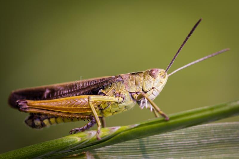 Un joli parallelus de Chorthippus de sauterelle de pré se reposant dans l'herbe photo stock