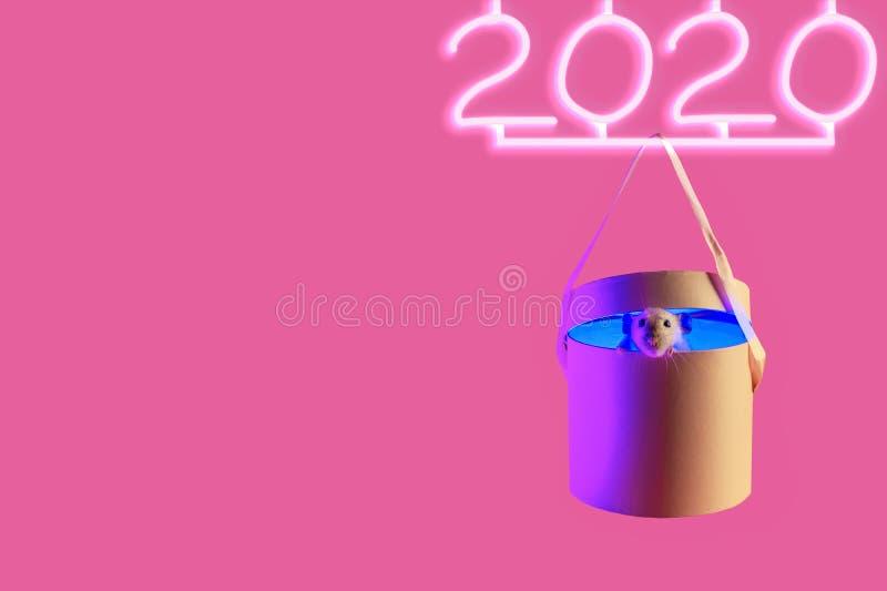 Un joli rat décoratif dans le cadeau et le néon 2020 avec de l'ombre sur fond rose images stock
