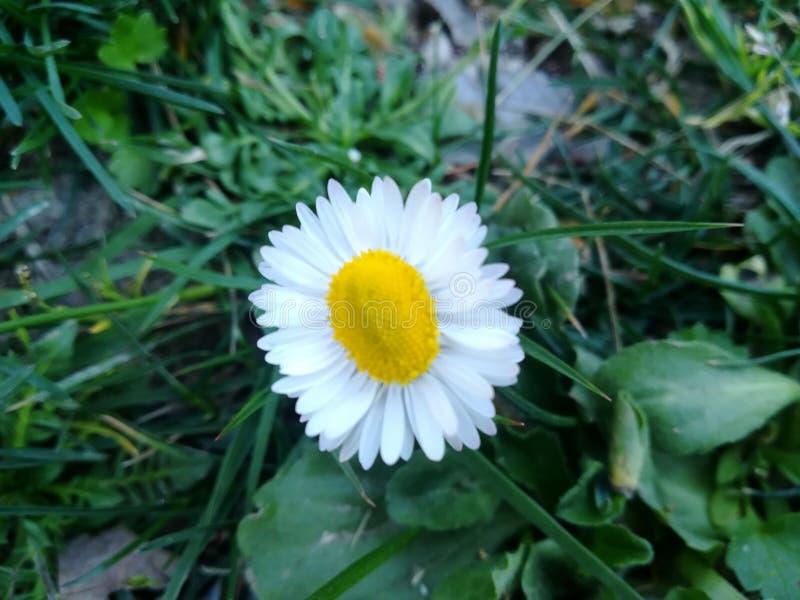 Un jour de marguerite au printemps photographie stock