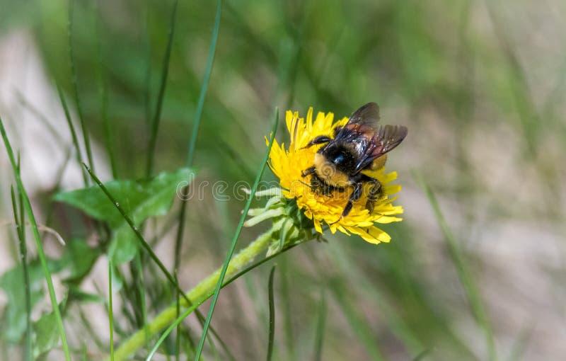 Un joven manosea la abeja en primavera recoge el polen y el néctar de una planta del diente de león imagenes de archivo