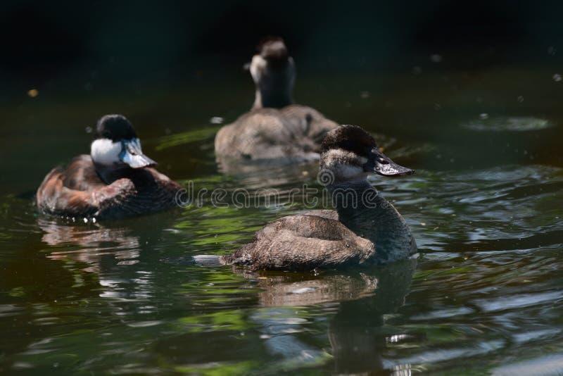 Un juego de pájaros en provincia insouthern del jardín del pájaro de Hambanthota foto de archivo