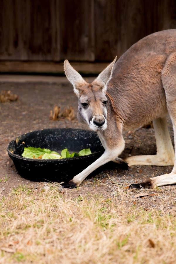 Un kangourou mangeant d'une grande cuvette photographie stock libre de droits