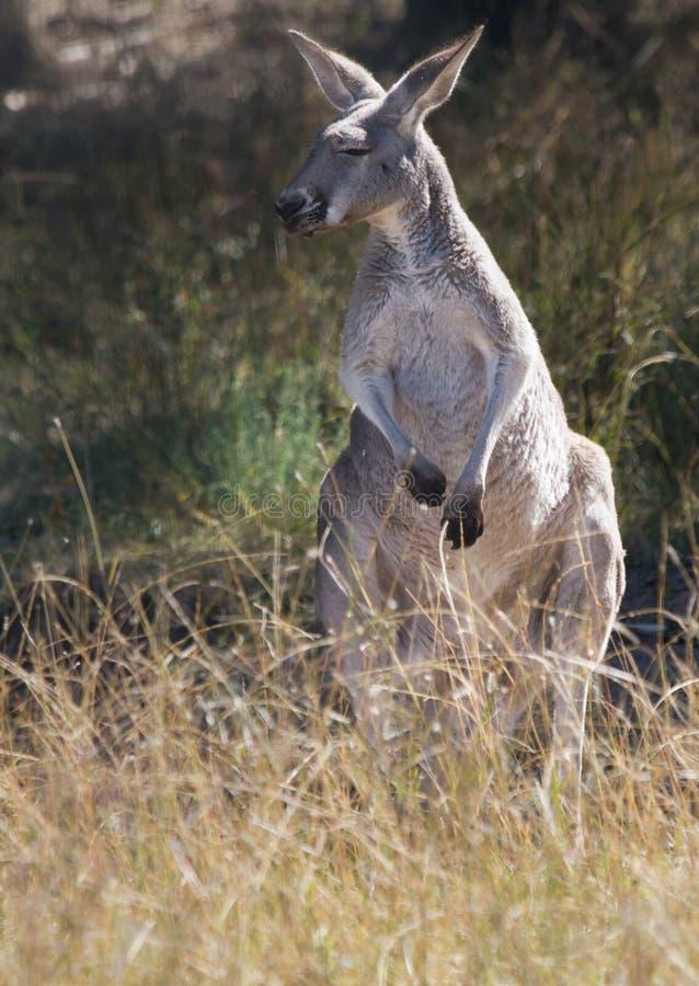 Un kangourou rouge regardant vers sa droite photographie stock