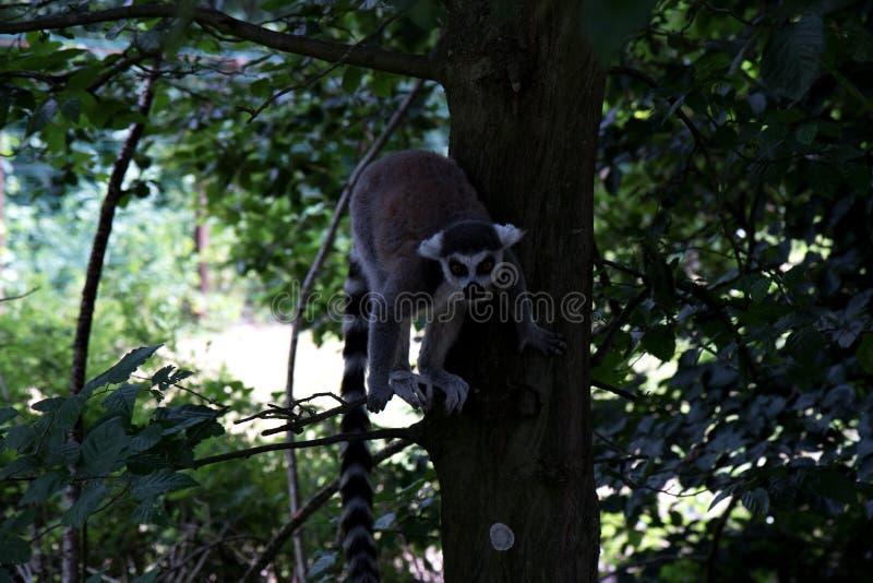 Un katta se reposant sur un arbre prêt à sauter au zoo en Allemagne photographie stock libre de droits