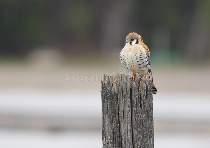 Un Kestral américain. photo stock