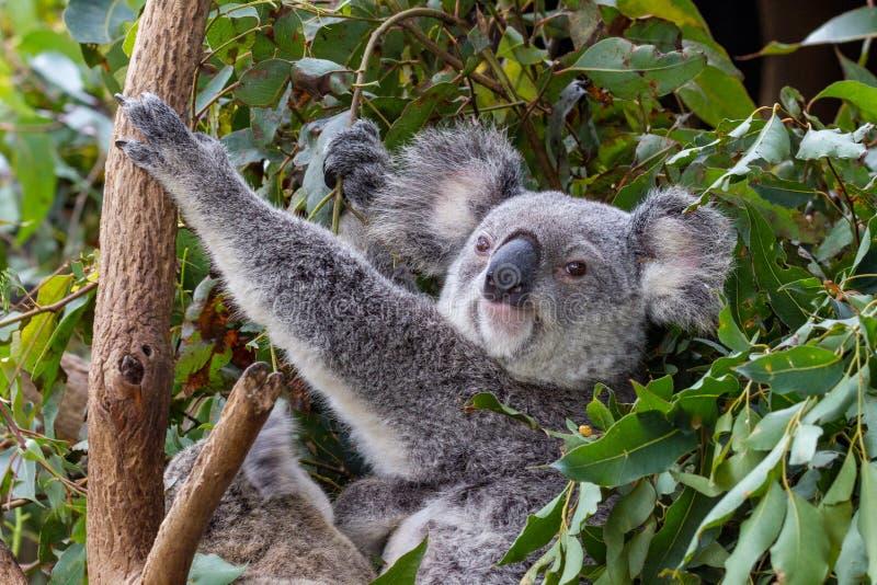 Un koala de mère avec un joey à ses pieds images libres de droits