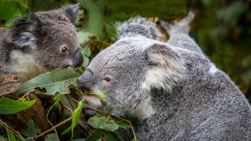 Un koala de mère avec son joey photo stock