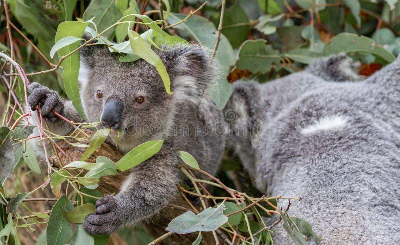 Un koala de mère avec son joey images libres de droits