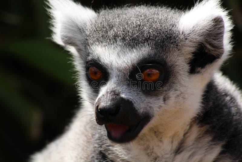 Un lémur fotografía de archivo libre de regalías