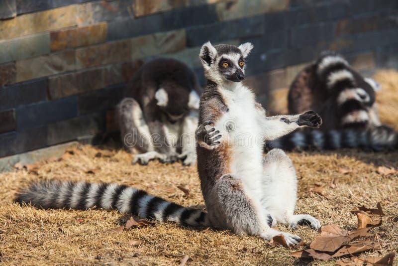 lémur Anneau-coupé la queue photographie stock