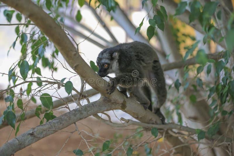 Un lémur Anneau-coupé la queue se repose sur un arbre et regarde autour images stock