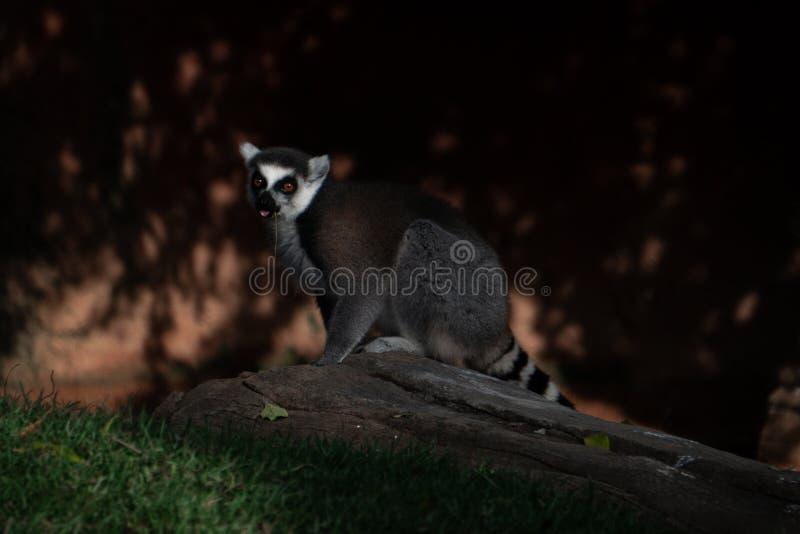 Un lémur a attrapé garde basse photos libres de droits