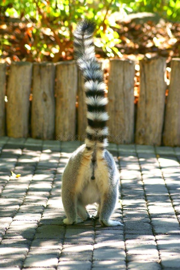 Un lémur de Madagascar fotos de archivo libres de regalías