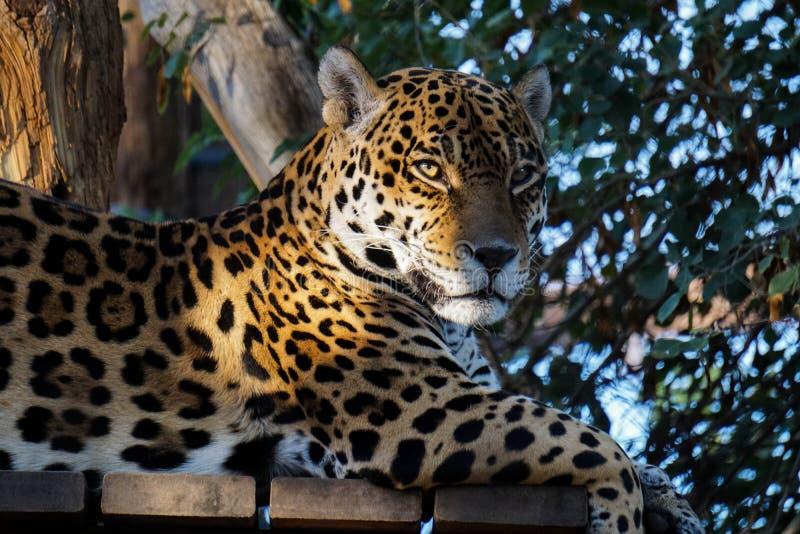 Un léopard de zoo de Phoenix Arizona photo stock