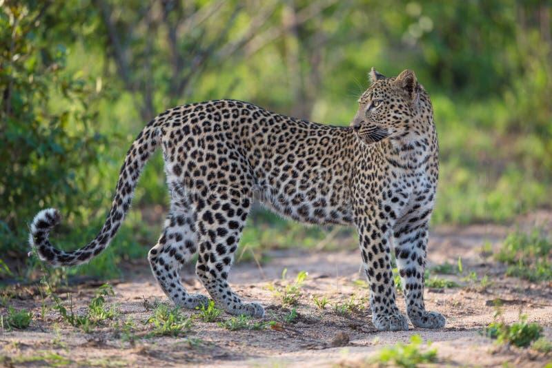 Un léopard femelle regardant au-dessus de son épaule photo libre de droits