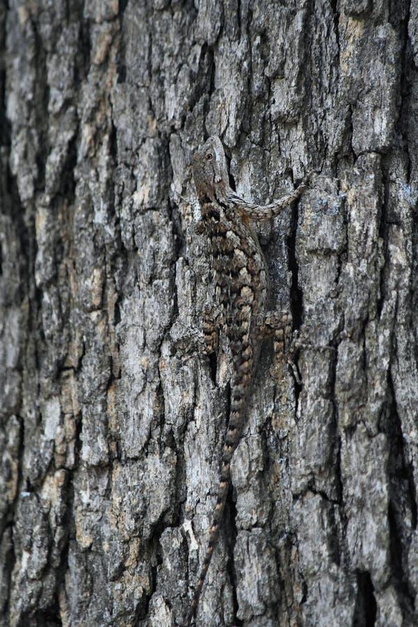 Un lézard épineux camouflé sur un arbre images stock
