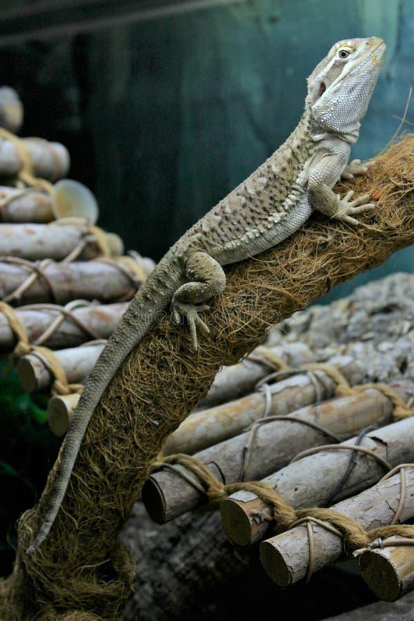 Un lézard de dragon des rankin se repose sur une branche dans une mini-serre image stock