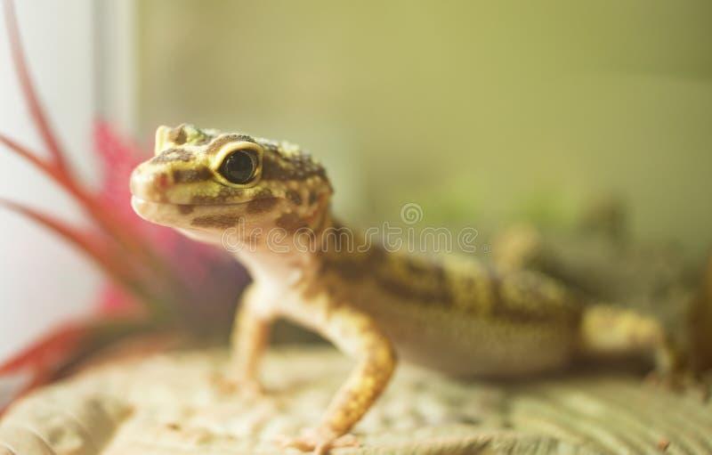 Un lézard de gecko de léopard albinos photographie stock